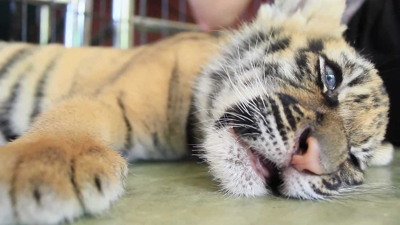 The Cutest Tiger In The World