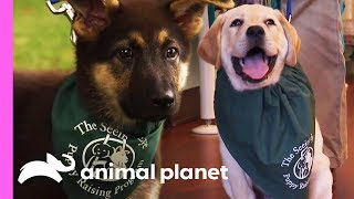 Two Future Guide Dogs Start Their Training | Too Cute!
