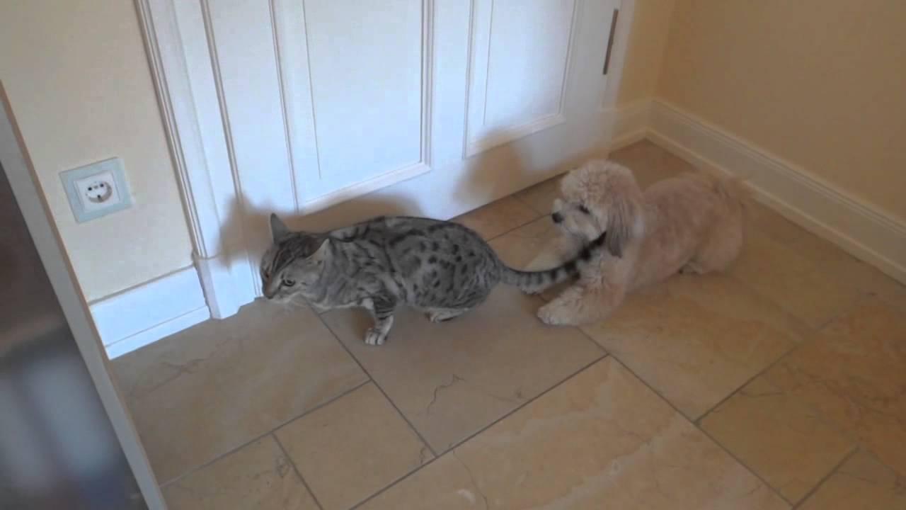Hund Fickt Katze