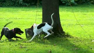 Coonhound Training