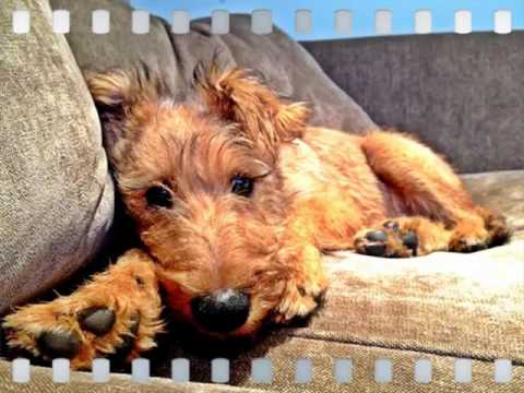 Cute Dogs Picture Collection Of Puppy Terrier Irish