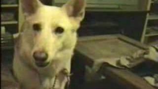 Roxy Talking  - White German Shepherd