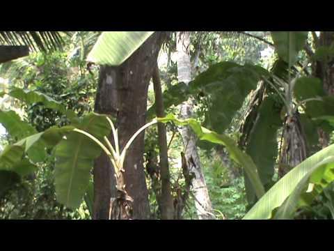 kuyil bird sound | Asian koel (Eudynamys scolopaceus)