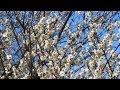 170228富山県中央植物園早春散歩9 06 の動画、YouTube動画。