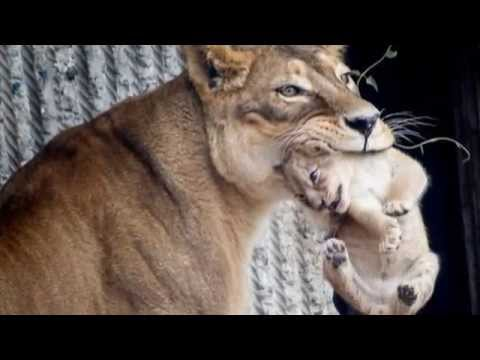 Danish Copenhagen Zoo kills four young healthy lions, weeks after killing Marius the giraffe
