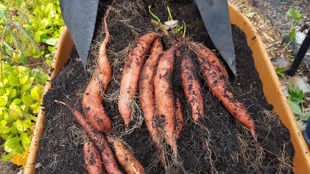 Best Sweet Potatoes Harvest From Grow Bags You