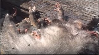 Đàn chuột con ôm x.á.c chuột mẹ không rời khiến con người cũng không cầm được nước mắt