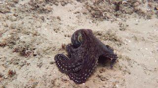 Beautiful Swimming Octopus    ViralHog