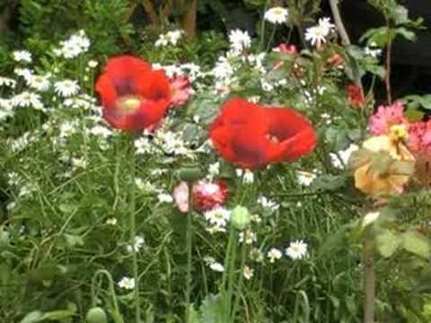 Papaver somniferum, opium poppy - THE POISON GARDEN website
