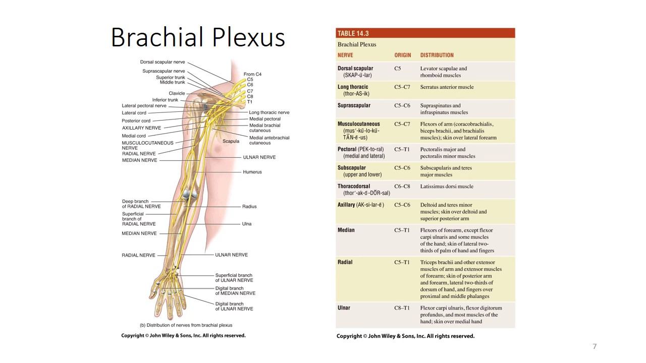 Innervation of the upper limb and the brachial plexus - YouTube