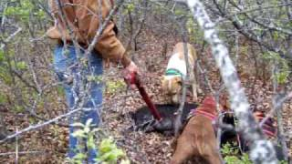 Pig Hunting with dogs on Big Cat Ranch 2