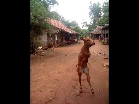 Bezerro nasce sem patas dianteira e aprende a andar como humano