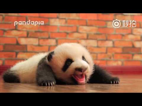 "Panda cub ""Sesame"" really likes to ""talk"""