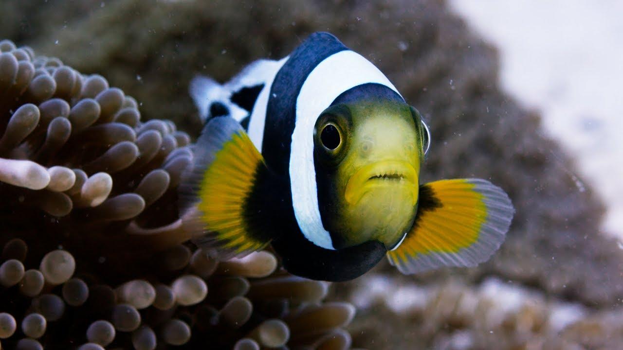 Download Amazing Clownfish Teamwork   Blue Planet II   BBC Earth
