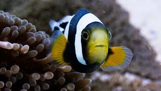 Amazing Clownfish Teamwork   Blue Planet II   BBC Earth