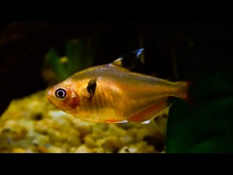 Serpae Tetra Care | Tank Set Up | How To Differentiate Male & Female Red Minor Tetra