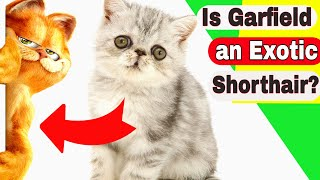 Is Garfield an Exotic Shorthair? Do Exotic Shorthair cats like to be held?
