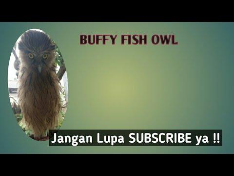 CARA MERAWAT BUFFY FISH OWL