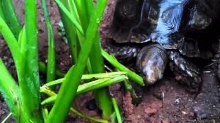Baning sumatera / emys tortoise