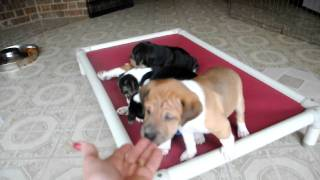 Rescue Pups - Adopted! 6 Wk Old Shar Pei - Beagle Mix Puppies!