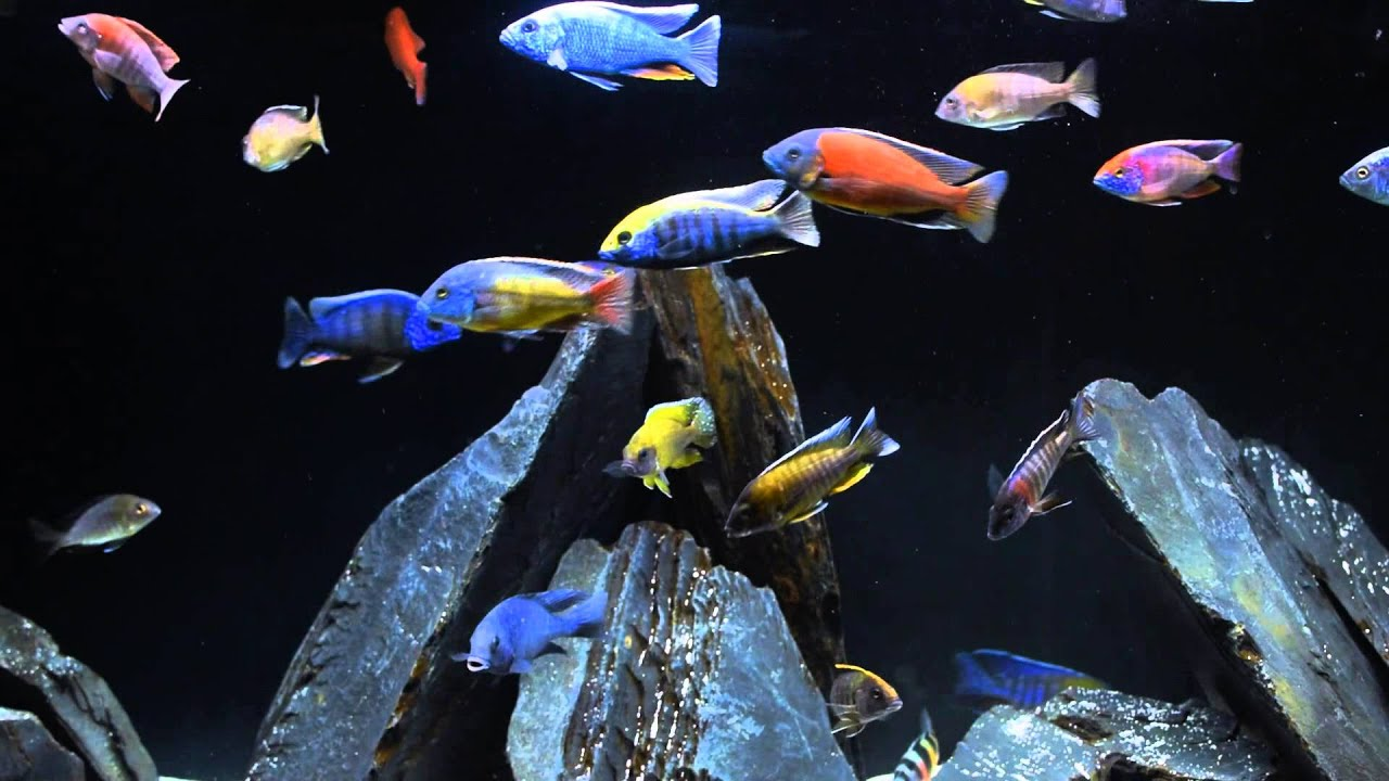 African cichlids devouring northfin fish food in slow for Cichlid fish food