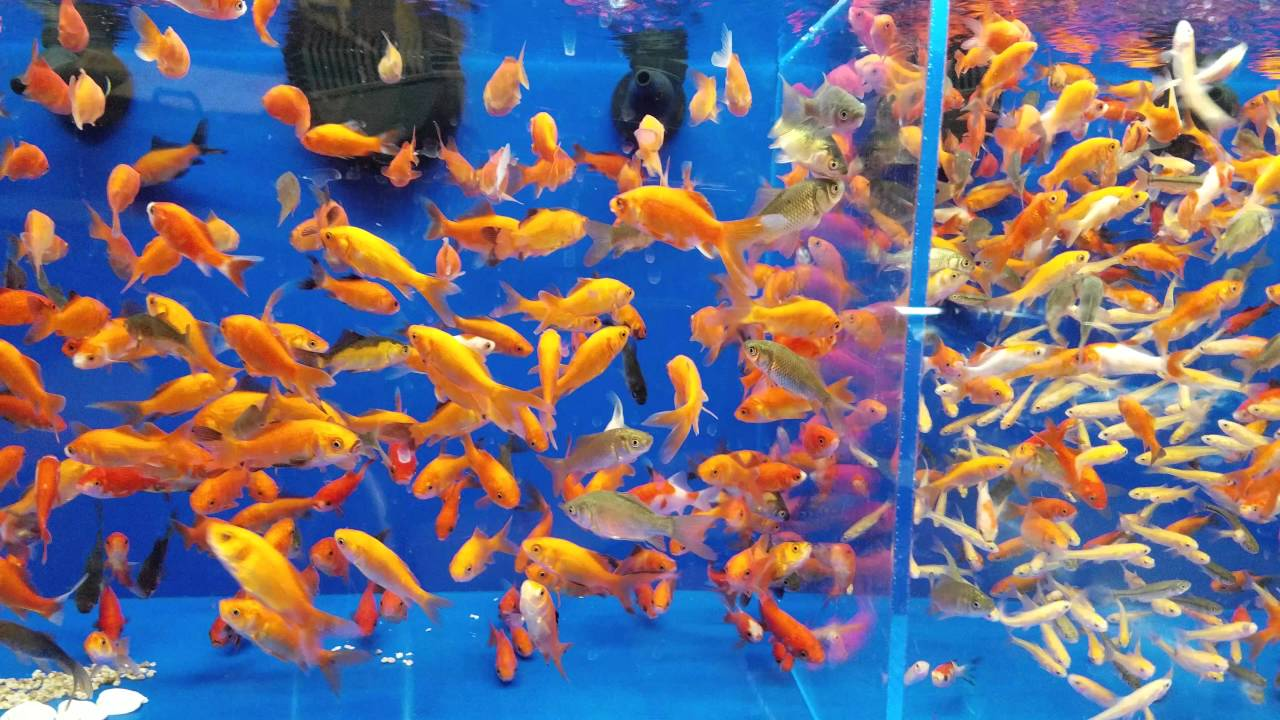 Related keywords suggestions for petsmart goldfish for Petsmart fish sale