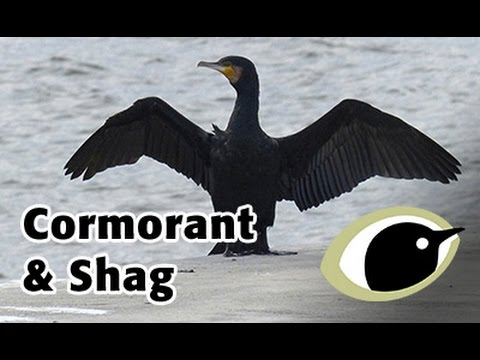BTO Bird ID - Cormorant and Shag