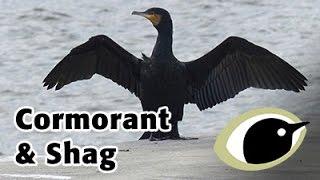 BTO Bird ID - Cormorant and Shag