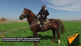 """Самый большой """"боевой"""" конь в Кыргызстане"""