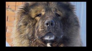 Furia Canina, Rusia 2018