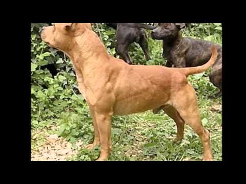 Beautiful photos dog breed Staffordshire Bull Terrier