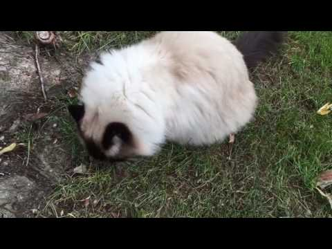Ragdoll Cats Enjoying Their Backyard