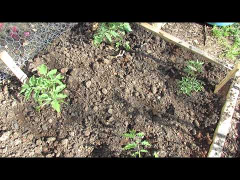 Basic Information for Growing Determinate Tomatoes in Your Garden - The Rusted Garden 2013