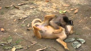 Monkey wrestling a dog