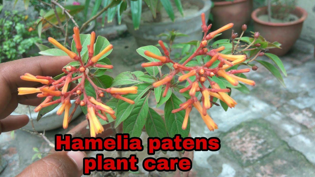 Garden Bush: How To Grow Hamelia Patens Plant Care And Tips