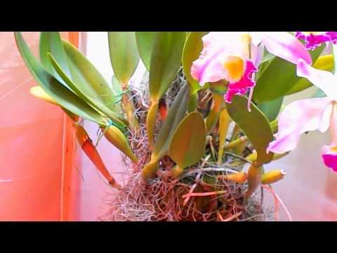 Cattleya eldorado aka Cattleya wallisii