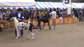 FCI Kyushu '16 Great Dane (Black)
