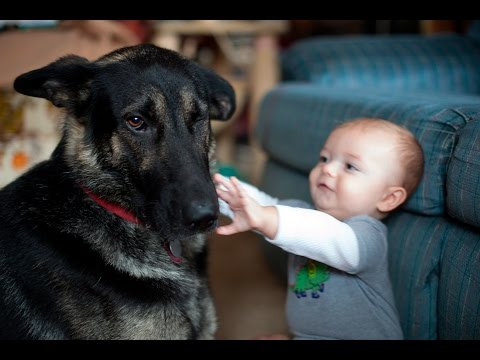 German Shepherd , our best and awesome little furry friends -  Funny dogs compilation