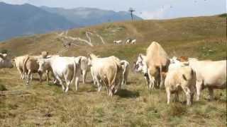 Attaque d'un troupeau de vaches à Valoire