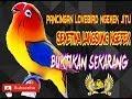 Pancingan Jitu Lovebird Ngekek Seketika Langsung Ngefek Dan Ngekek  Mp3 - Mp4 Download