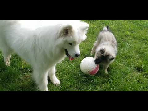 Football Phenom Keeshond Puppy