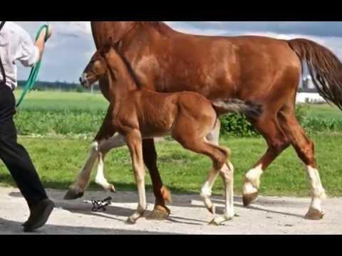 Full Dutch H H Stallion 2014