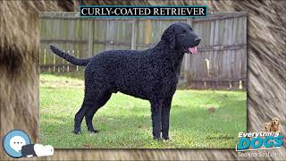 Curly coated Retriever  Everything Dog Breeds