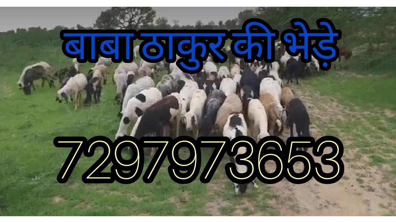 Download बराड़ी भेड़ फॉर सेल . बाबा ठाकुर की भेड़े / Baba thakur ki bhede