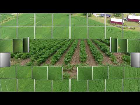 An Organic Soybean Field Versus Non-Organic from a Drone's View