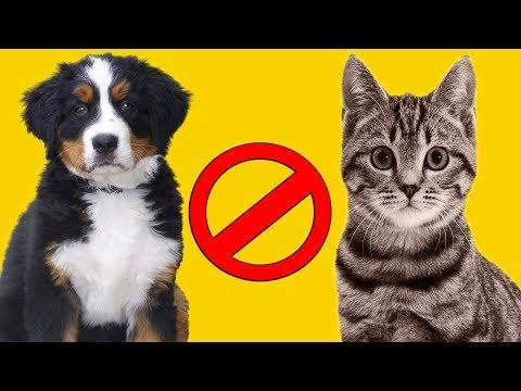 Вопрос: Почему кошки так не любят собак?