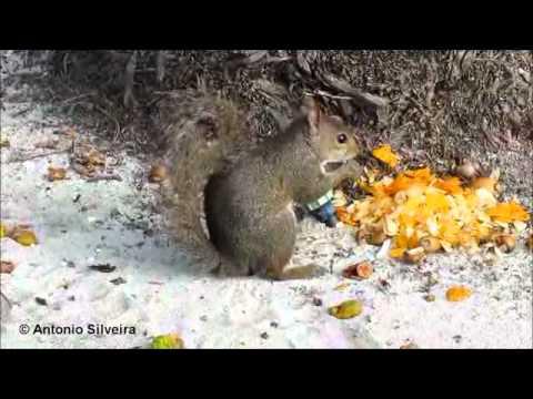 Gray Squirrel (Sciurus carolinensis) Miami Beach-USA-3-7-2012-Antonio Silveira