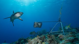 Snippet: Sharks absent in 19 percent of coral reefs, shows 18,000 hours of footage