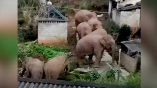 Don't panic! Wild elephants roam village in SW China