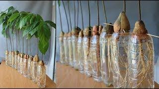 Trồng bơ từ hạt bơ, tin được không??? | Growing Avocado tree from avocado seeds, believe it?